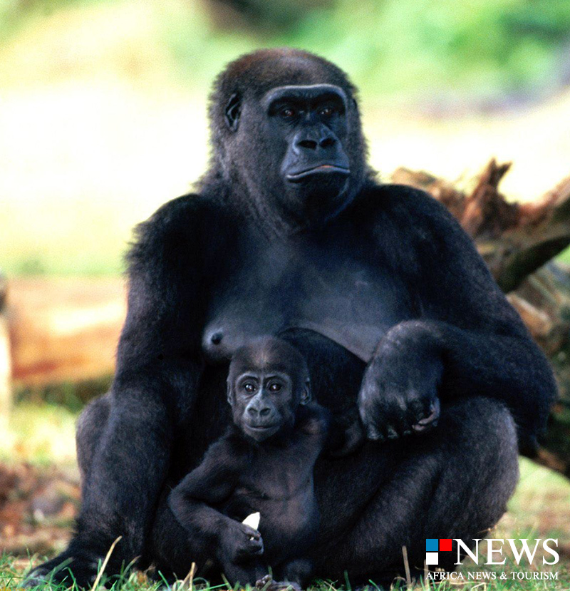 Go in Africa to see Gorillas
