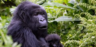 Gorillas in Africa