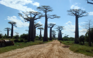 avunue-of-the-baobabs